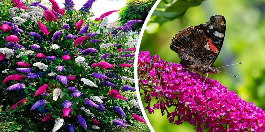 Budleja Dawida Buddleja Davidii Krzew przyciągający motyle Motyli krzew