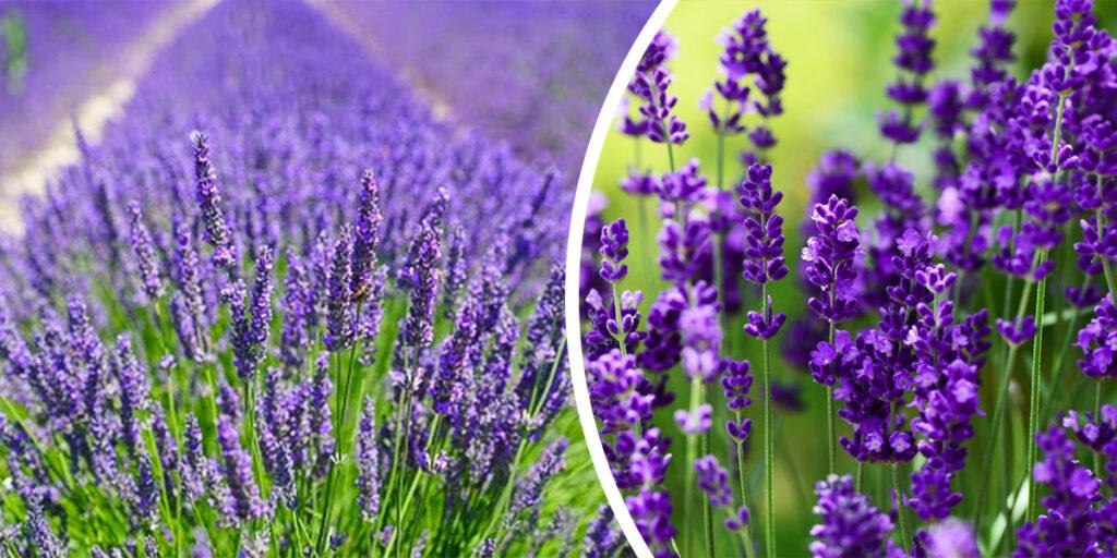 lawenda lavenda bylina wabiąca motyle