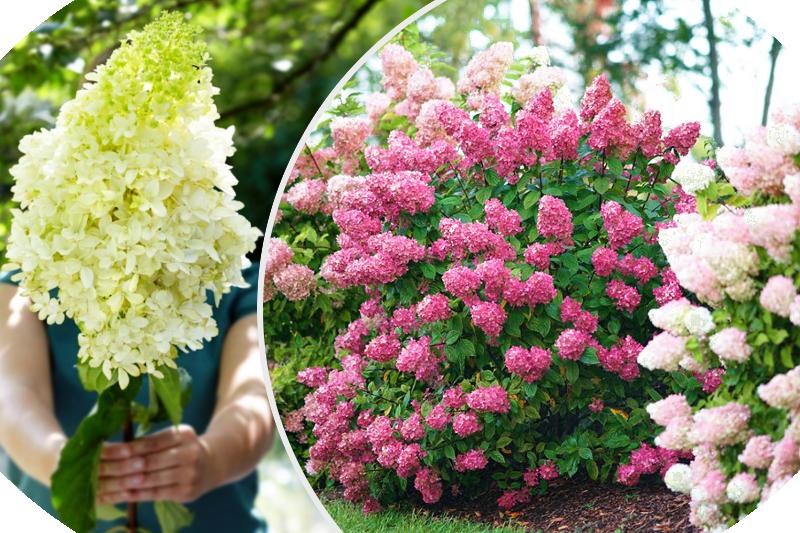 hortensja bukietowa hydrangea paniculata kwitną przez całe lato