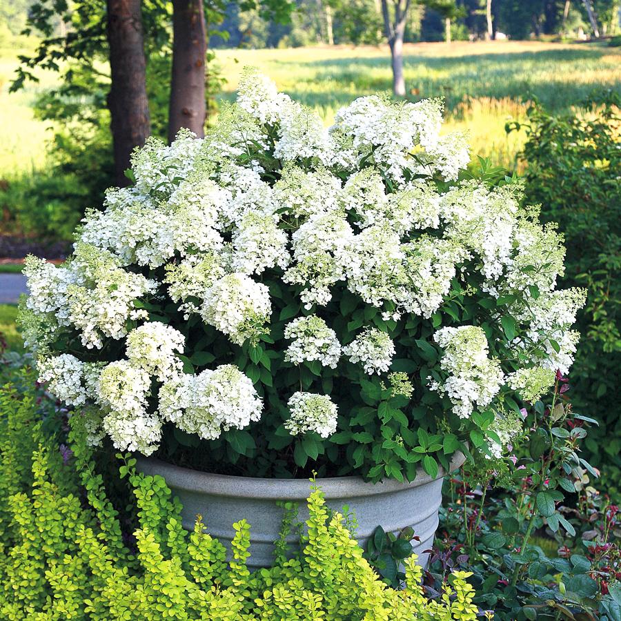 hortensja bukietowa hydrangea paniculata kwitną przez całe lato 2