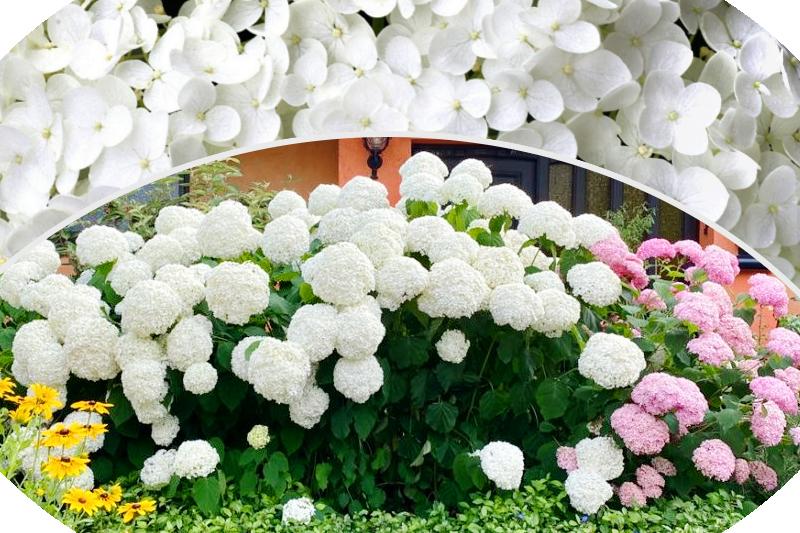 hortensja krzewiasta drzewiasta Hydrangea arborescens kwitną przez całe lato 2