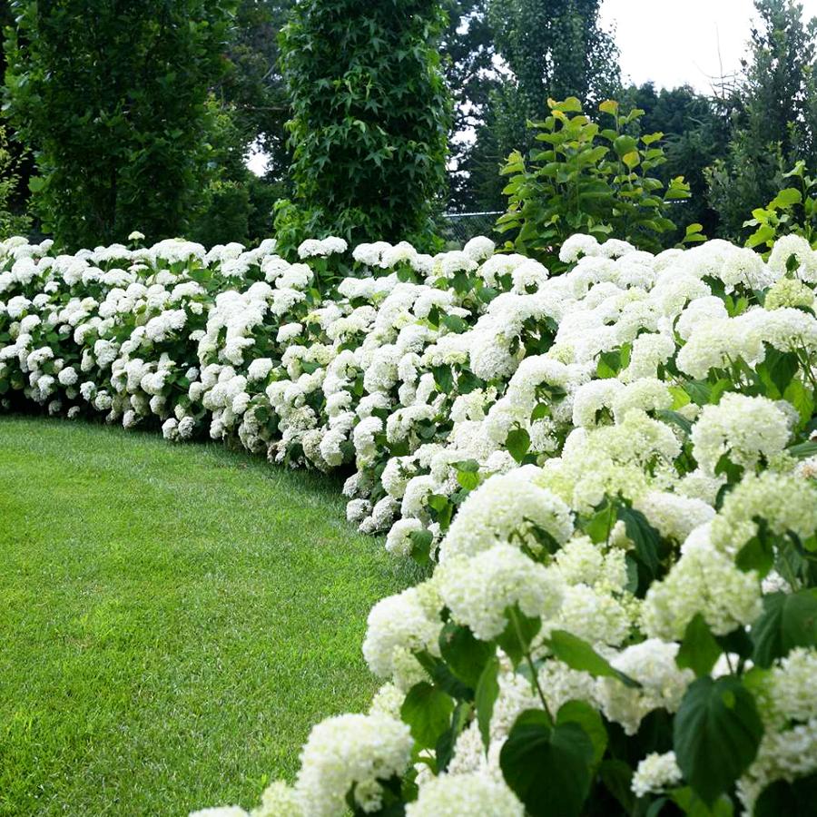 hortensja krzewiasta drzewiasta Hydrangea arborescens kwitną przez całe lato 4