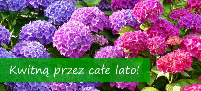hortensje ogrodowe, bukietowe, drzewiaste, krzewiaste, kwitną przez całe lato centrum ogrodnicze