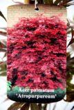 710-00141 Acer pal. 'Atropurpureum' C3 2