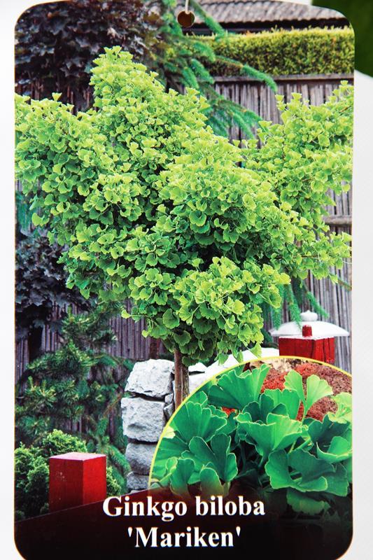 710-04733 Gingko biloba Mariken 120cm C6 2
