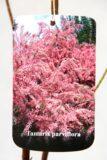 710-04736 Tamarix parviflora C2 2