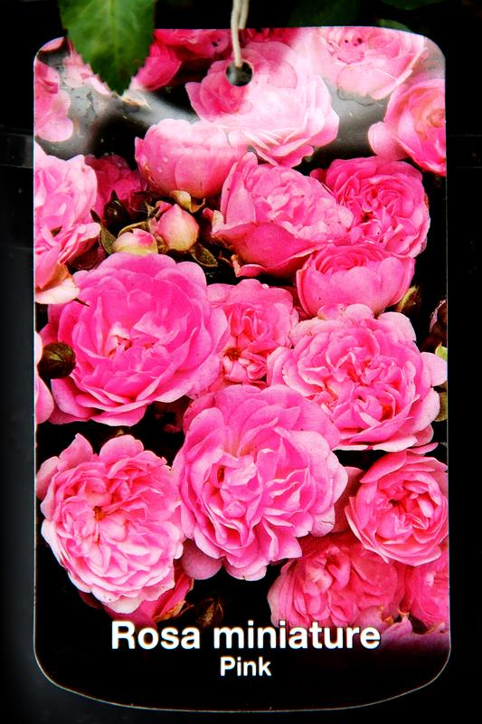 710-04737 Rosa miniature Pink C2 2