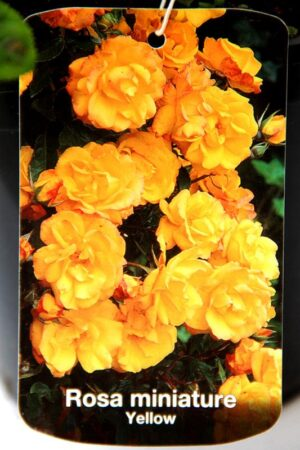 710-04738 Rosa miniature Yellow C2 2