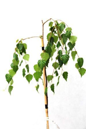 710-04739 Betula pendula youngii (1)