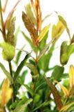 Salix 'Flamingo' Wierzba szczepiona na pniu
