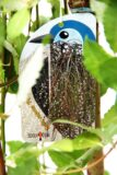 Salix 'Pendula' Wierzba szczepiona na pniu
