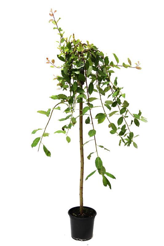 Salix 'Pendula' Wierzba szczepiona na pniu 2