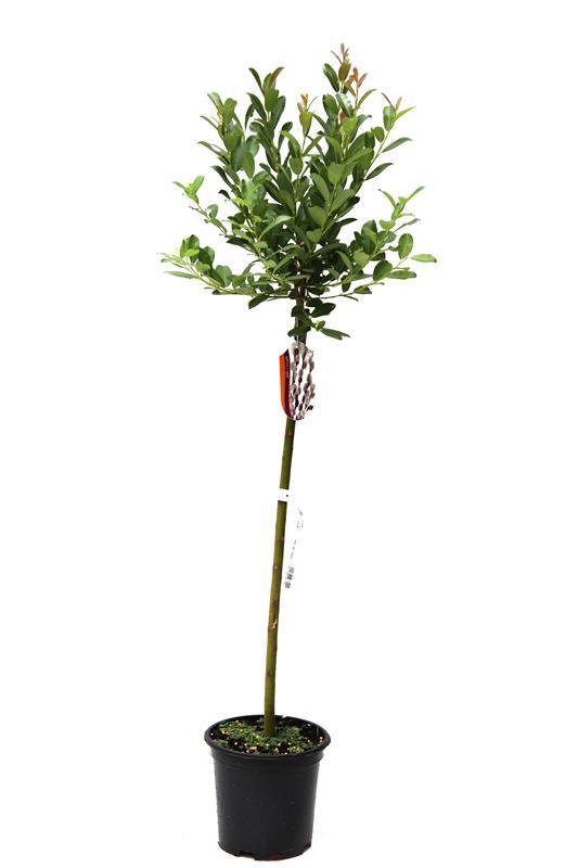 Salix x tetrapla wierzba szczepiona na pniu