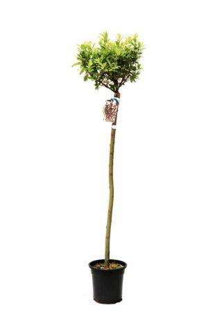 Salix 'Mount Aso. wierzba szczepiona na pniu