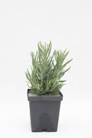 905-00249 Lavandula angustifolia 'Dwarf Blue'