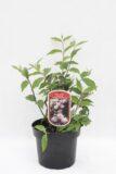 905-00272 Żylistek mieszańcowy 'Mont Rose' (łac. Deutzia hybrida 'Mont Rose')