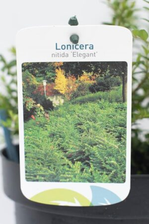 905-00275 Lonicera nitida 'Elegant' (2)