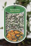 905-00279 Pyracantha 'Golden Charmer' (2)