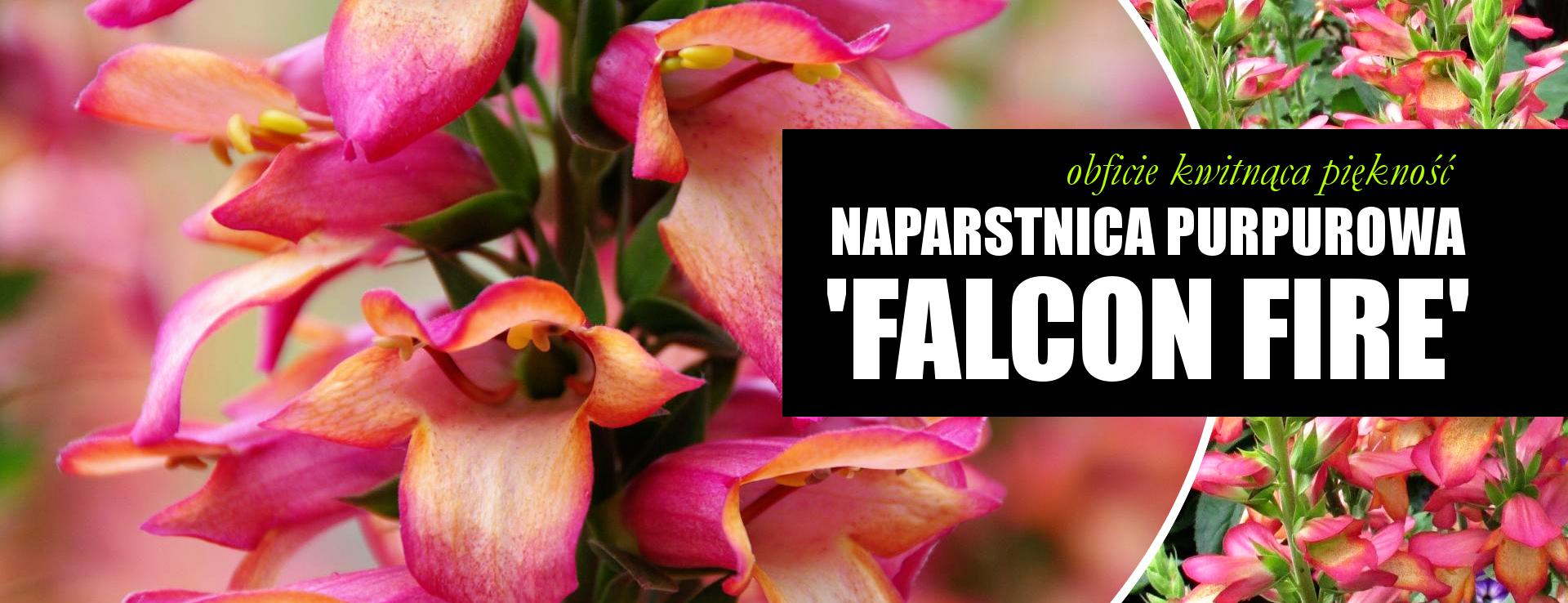 Naparstnica purpurowa 'Falcon Fire' digitalis SKLEP INTERNETOWY Z ROSLINAMI