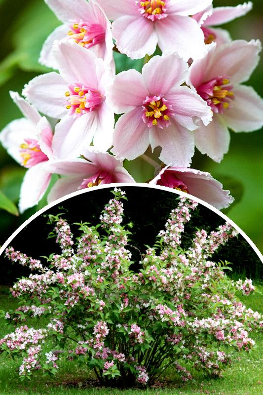 Żylistek mieszańcowy 'Mont Rose' (łac. Deutzia hybrida 'Mont Rose')