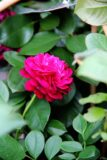 Róża mix róża wielokwiatowa gęsta rosa