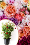 Róża wielokwiatowa gęsta rosa