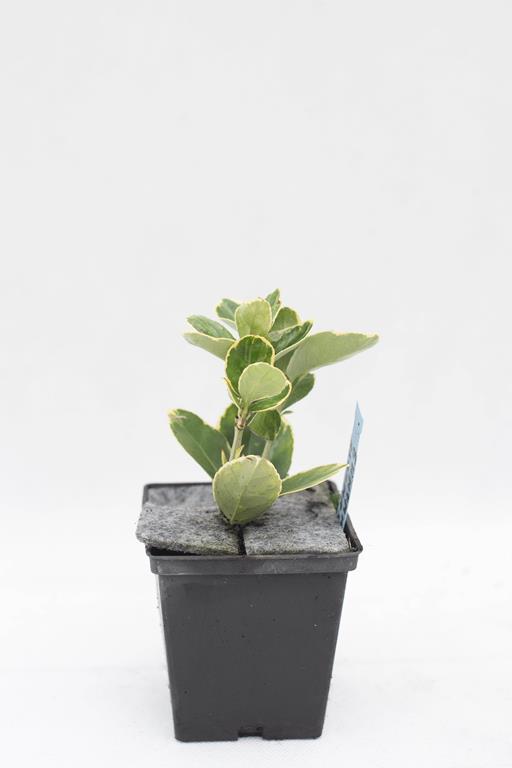 905-00246 Euonymus japonica 'Albomarginatus'
