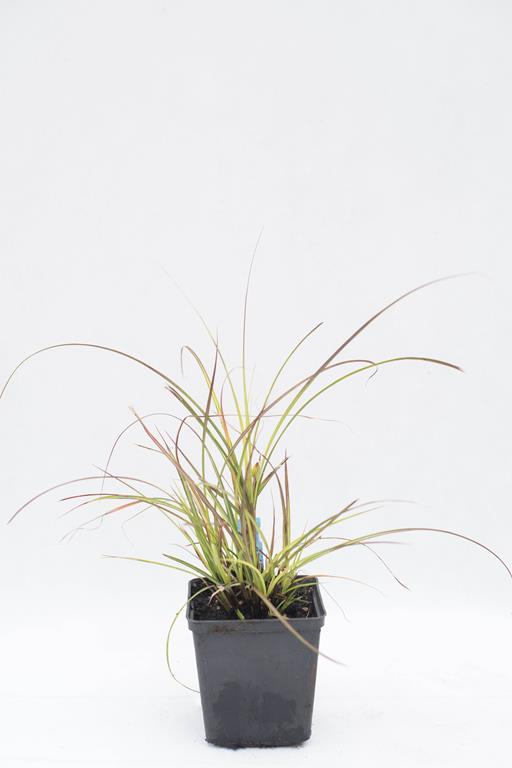 905-00253 Miscantus sinensis 'Adagio'