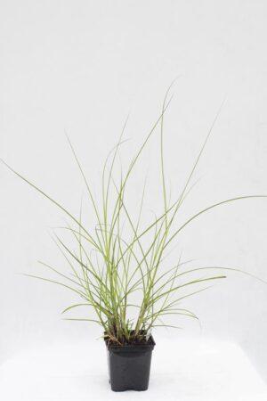 905-00254 Miscantus sinensis 'Kleine Silberspinne'
