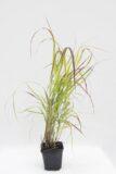 905-00258 Panicum vir. 'Shenandoah'