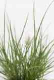 Rozplenica japońska 'Little Bunny' (Pennisetum alopecuroides 'Little Bunny')