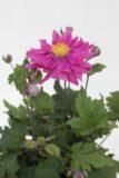 Zawilec mieszańcowy 'Bressingham Glow' (łac. 'Anemone x hybrida 'Bressingham Glow')