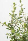 Twardziczka 'Donard Seedling' (Łac. Escallonia 'Donard Seedling')