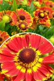 Dzielżan jesienny 'Bandera' (łac. Helenium x hybridum 'Bandera')