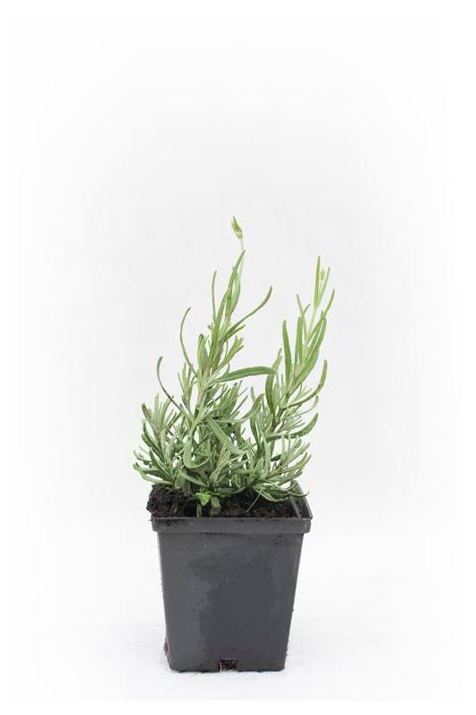 Lawenda wąskolistna 'Hidcote' (łac. Lavandula angustifolia)