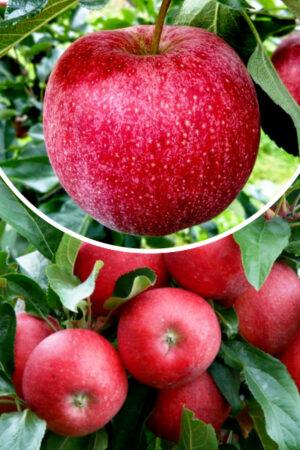 Jabłoń 'Malinowa Oberlandzka' (Malus domestica 'Malinowa Oberlandzka')