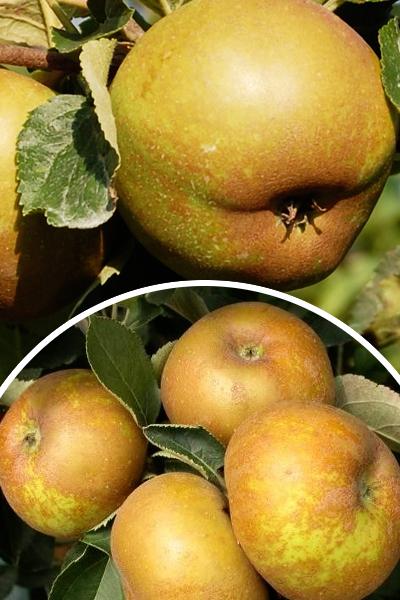 Jabłoń 'Szara Reneta' (łac. Malus domestica 'Szara Reneta')