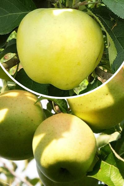 Jabłoń 'Antonówka Masłowa' (łac. Malus domestica 'Antonówka Masłowa')