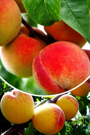 Brzoskwinia 'Harnaś' (łac. Prunus persica 'Harnaś')