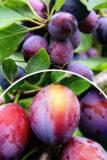 Śliwa 'Opal' (łac. Prunus domestica 'Opal')
